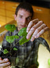 Wright State student John Ali  examines the leaves  on some invasive plants that are being grown for research in a lab on campus. <br />   © 2011 Photograph by Skip Peterson