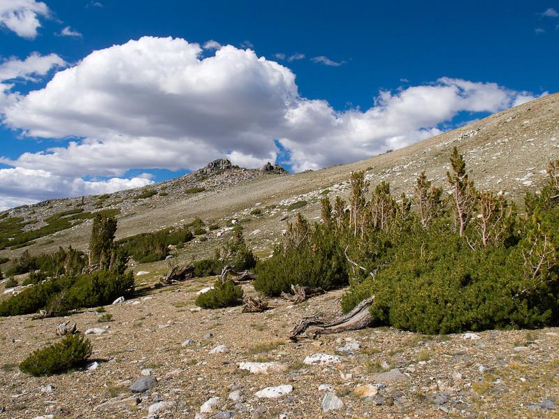 Pines on the ridge