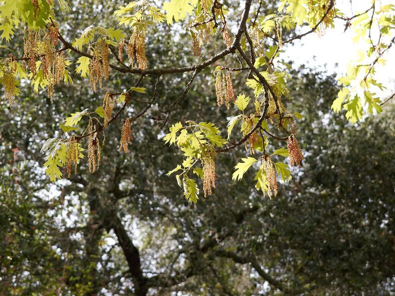 Blooming oak trees