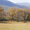 Horses in Cade's Cove