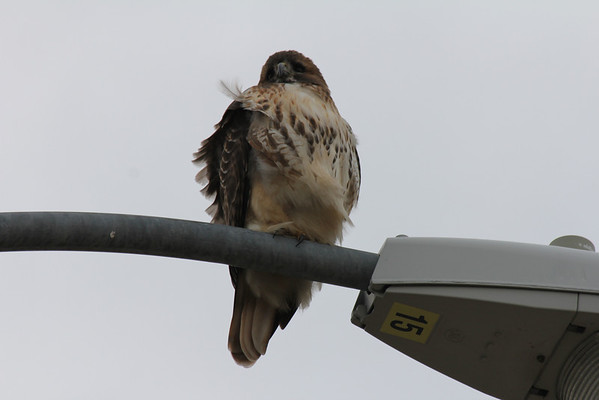 Red Tailed Hawk 2011-12-02