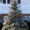 Tribune-Star/Jim Avelis<br /> Pointed decorations: Icicles dangle from the ends of pine boughs on this evergreen along Ohio Boulevard.