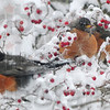 Tribune-Star/Rachel Keyes<br /> Stay Close: A group of robins huddle together in a Hawthorn tree as the continue to search for food throughout the recent winter storm.