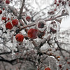 Tribune-Star/Jim Avelis<br /> Encased: Crabapples sit frozen in ice on a tree on the Indiana State University campus.