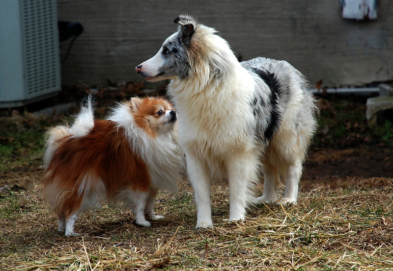 sami pomeranian and Gael blue merle shelti