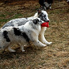 Gael and IceMaiden blue merle shelties