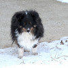 Alex Tri-Color sheltie January 2011