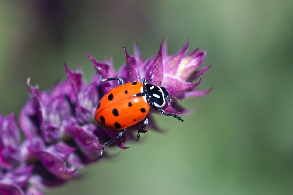 I saw this ladybug crawling around on the pretty purple flower but it was REALLY hard to get this in focus before the lady bug moved on