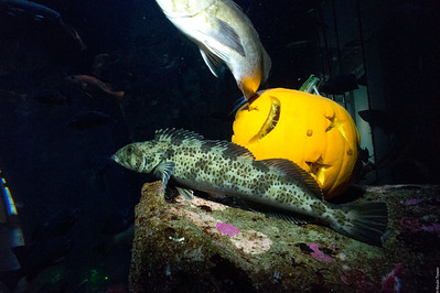 Pumpkin Guarded by Lingcod