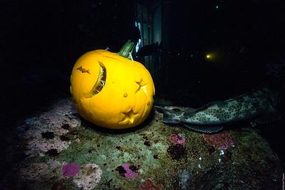 Pumpkin with Lingcod Butt