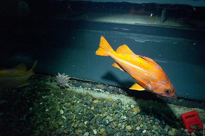 Canary Rockfish