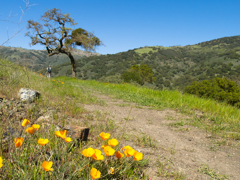 Poppies by the trail
