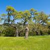 Oak formation