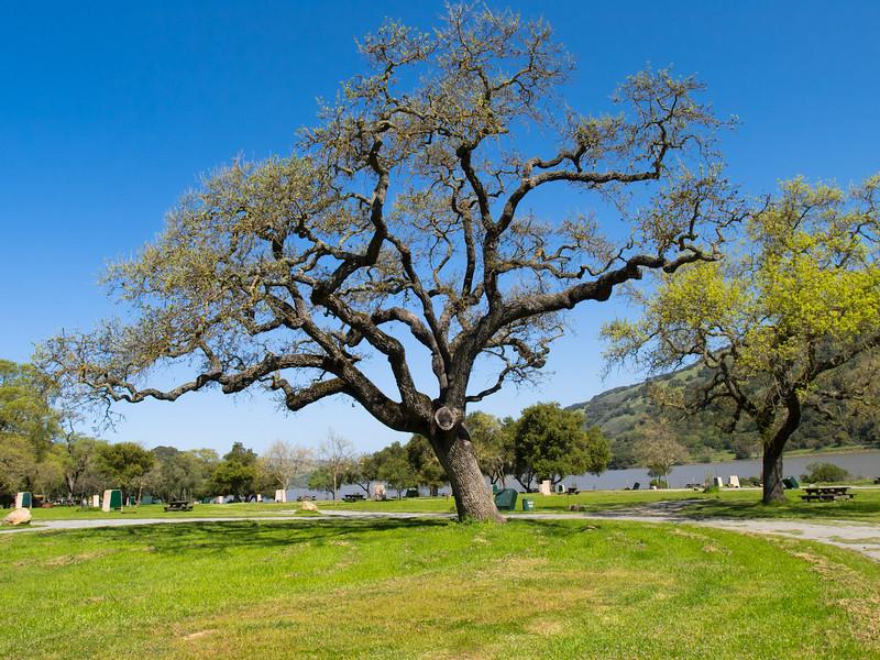Oak by Coyote Lake