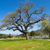 Oak by Coyote Lake