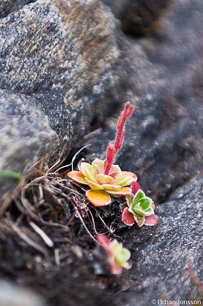 Här finns en frodigt växtlighet, en liten Stjärnbräcka som kämpar gör livet på en sten.