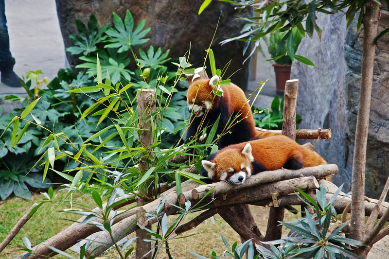 Red pandas in a special exhibit at Ocean Park in Hong Kong.