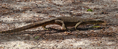 The camp was also patrolled by this very large lizard, who would engage in hissing disputes with the birds, presumably over territory.