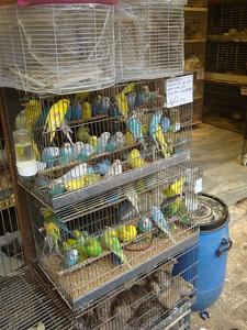 Animal market budgerigars