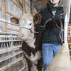 Tribune-Star/Rachel Keyes<br /> Here We Go: Matt Marion 7th year 4-Her leads his cow Yoda through the chute Sunday January 30th.