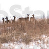 Gathering: The early, prolonged snow cover has whitetail der gathering into groups. These were found in eastern Vigo county.