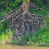 About time: The passage of time and the Wabash River is recorded in these exposed tree roots.