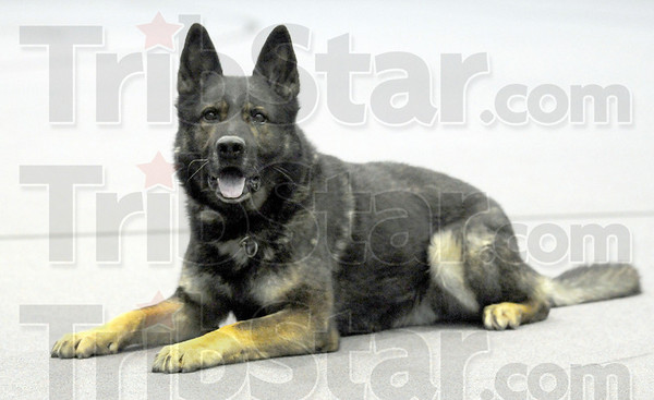 K-9: Razor calmly waits for instructions from his trainerJosh Gard of the Marshall, Ill. police department.