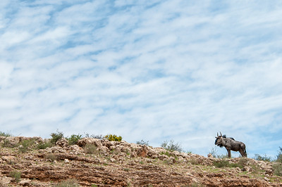 Lonely Wildebeest