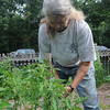 Tribune-Star/Rachel Keyes<br /> Tie them up: Friends of Turkey Run volunteer Peggy Foster ties up a tomato plant in the Heritage Kitchen Garden at Turkey Run State Park.