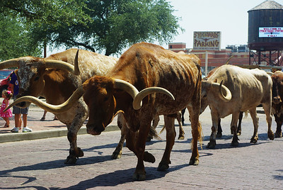 Cattle drive at the Fort Worth Stockyards