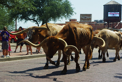 Cattle drive at the Fort Worth Stockyards. Look at those horns!