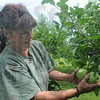 Tribune-Star/Rachel Keyes<br /> Early start: Danielle Woods picks a bushel of Lodi Apples at the Swanee Orchard. The Lodi are the first apples of the season.