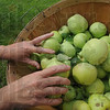Tribune-Star/Rachel Keyes<br /> A bushel full: Danielle Woods drops a few more Lodi apples in the basket as she picks at Swanee Orchard on Saturday.