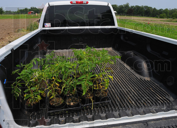 Tribune-Star/Jim Avelis<br /> Ready to plant: Tomato plants sit in the bed of a pickup truck, ready for planting at the St.Mary-of-the-Woods garden.