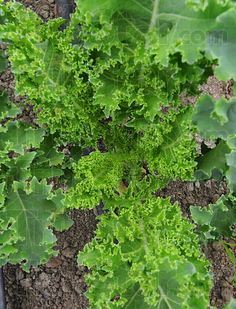 Tribune-Star/Jim Avelis<br /> Greening up: Plants under the high top greenhouse are well developed and have already yielded food.