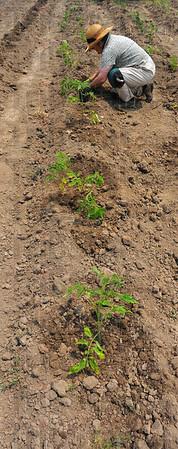 Tribune-Star/Jim Avelis<br /> On their way: Intern Sharon Roberts gets a row of tomato plants onto the ground.