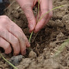 Tribune-Star/Jim Avelis<br /> Attention: Each onion start gets planted by hand.