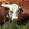 Tribune-Star/Jim Avelis<br /> Better beef: The beef sold by Flying S farms is all grass fed.