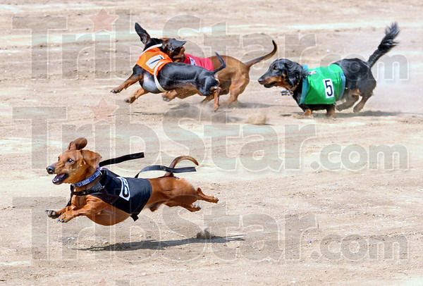 Flying fur: Two dogs crash together at the start of the Dachshund Dash Saturday morning.
