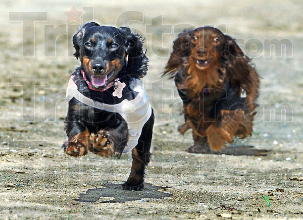 Gracie's race: Gracie breaks into the lead during heat race action at the Dachshund Dash Saturday morning. `