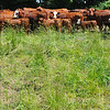 Tribune-Star/Jim Avelis<br /> Healthy herd: Cows with this years' calves stand in their food, grass, at the Flying S farm.