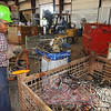 Tribune-Star/Jim Avelis<br /> Sorting it out: Goodman & Wolfe employee Paul Smith cuts plastic covered copper wire that has been brought in for scrapping.