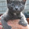 Mitten kitten: A young kitten's paws appear like he's wearing mittens Wednesday at the home of Jan Chait.