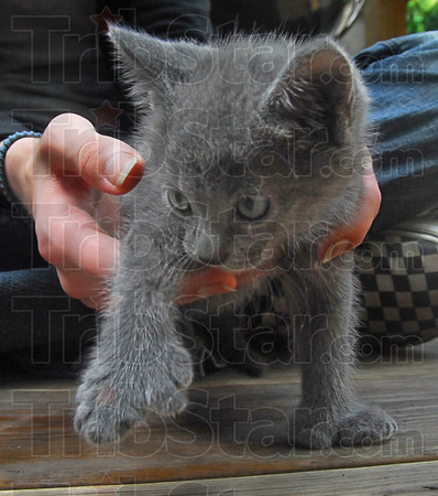 Bigfoot: A young kitten displays its multiple toes and oversized feet Wednesday at the home of Jan Chait.