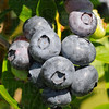 Tribune-Star/Jim Avelis<br /> Two more weeks: The blueberries at Cherrywood farms should be ripe for picking around the first of July.