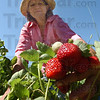 Tribune-Star/Jim Avelis<br /> Good year: Judi Ditzler with a cluster of ripe berries. The sunny spring has developed sweet jucy berries.