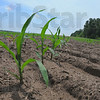 Tribune-Star/Jim Avelis<br /> Good start: Young corn plants reach skyward from their field in southern Vigo County.