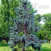 Healthy spruce: Blue spruce tree in Deming Park is full of healthy needles.