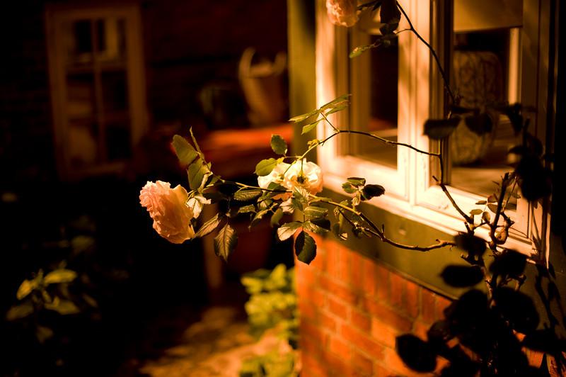 A rose at night