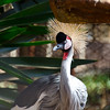 Zoo shot of a grey crowned crane.